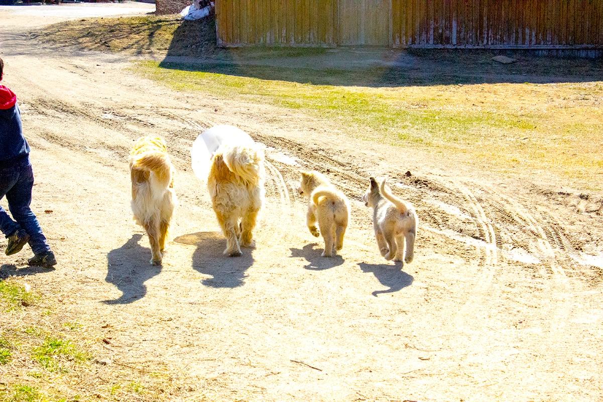 Dogs Golden Retriever Malamute Puppies Ferme 5 Etoiles Cote Nord Quebec Maritime