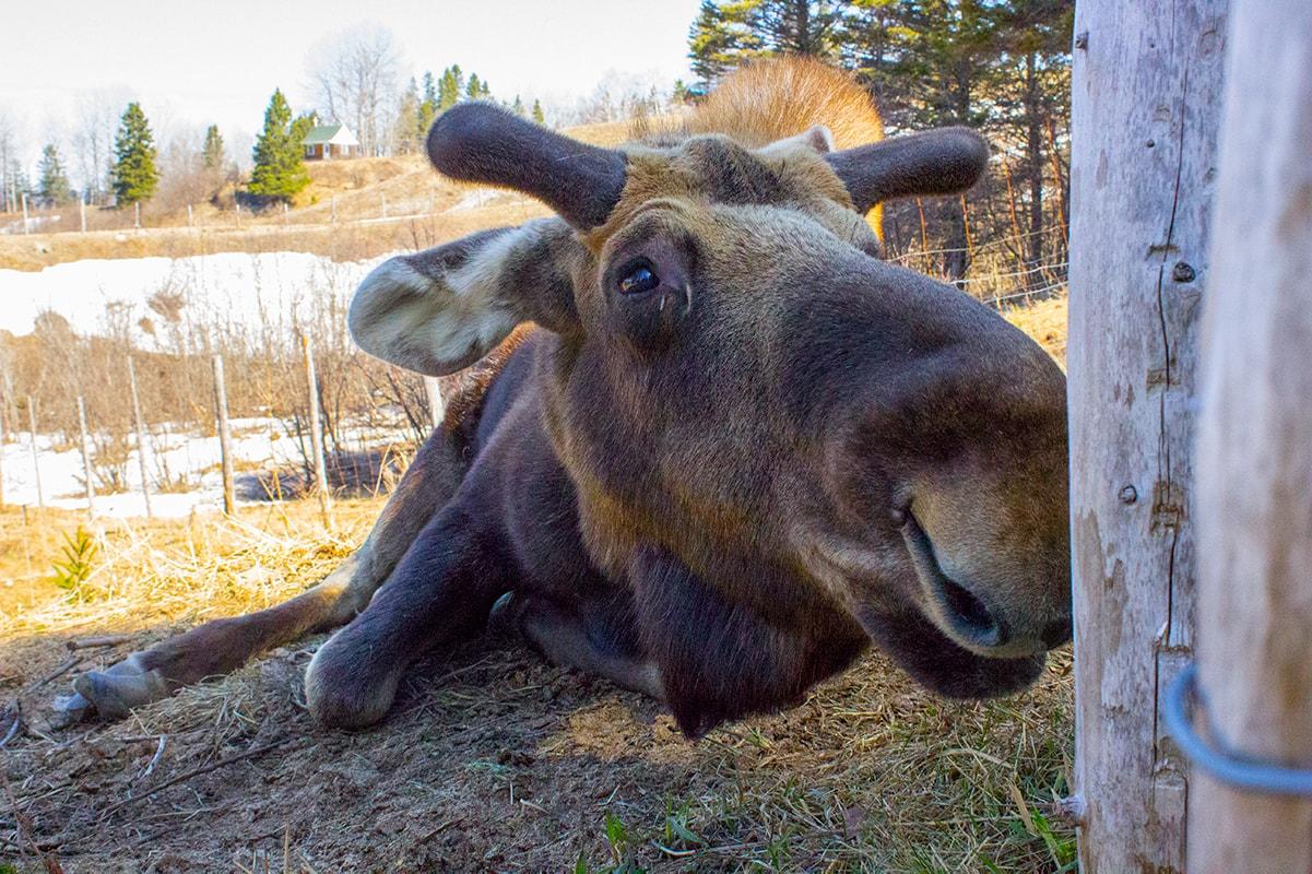 Zoe Orignal Moose Ferme 5 Etoiles Cote Nord Quebec Maritime