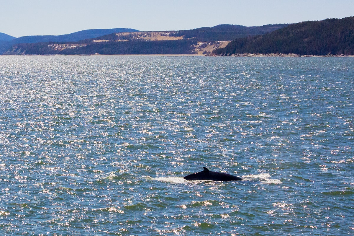 Minke Whale Watching in Tadoussac Quebec