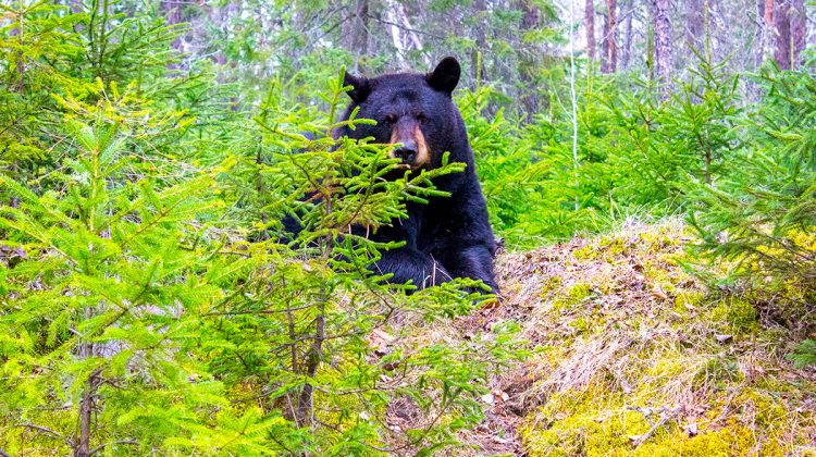 Zoo Sauvage de St-Felicien Quebec Maritime Bear Sitting in Woods