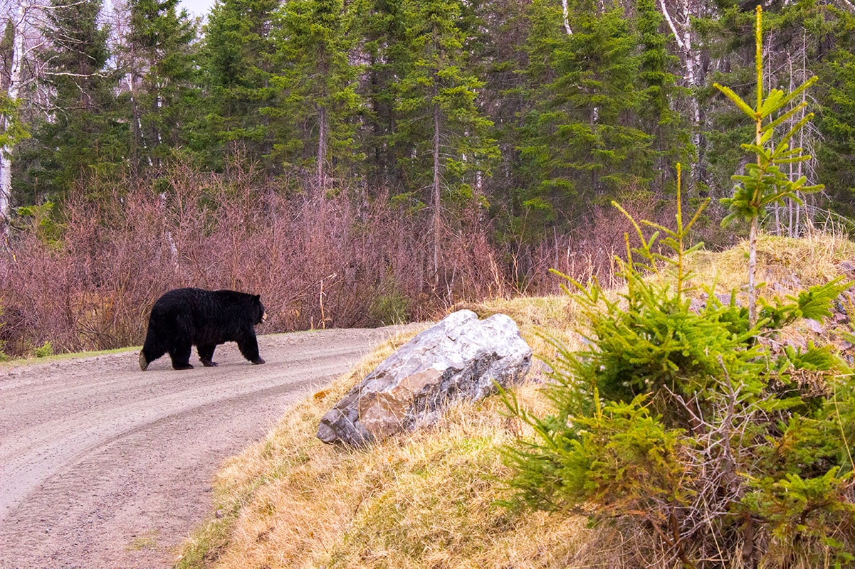 Zoo Sauvage de St-Felicien Quebec Maritime Bear Walking Away