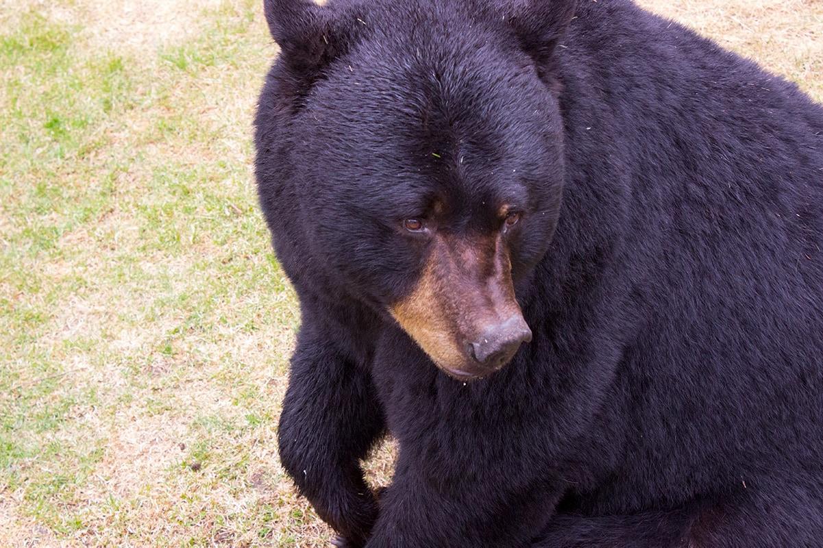 Zoo Sauvage de St-Felicien Quebec Maritime Black Bear
