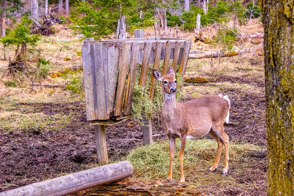 Zoo Sauvage de St-Felicien Quebec Maritime Deer