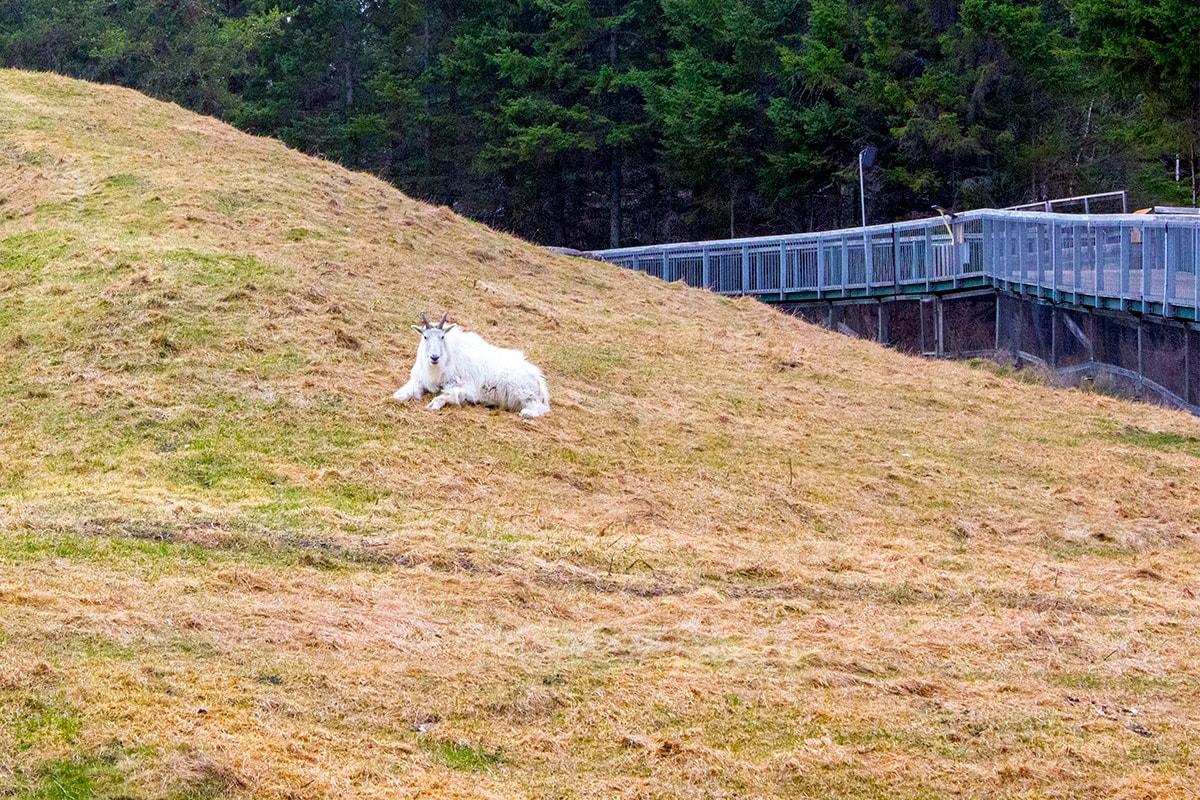 Zoo Sauvage de St-Felicien Quebec Maritime mountain goat